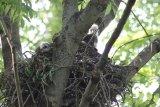 Káně lesní mláďata